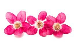 розовые изолированные цветки яблока Стоковое Изображение