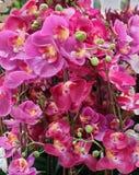 Розовые искусственные исчерченные цветки или фаленопсис орхидеи Стоковые Фото