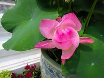 Розовые листья цветка и зеленого цвета лотоса в цветочном горшке фарфора Стоковое Изображение RF