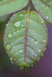 Розовые лист с падениями воды Стоковая Фотография