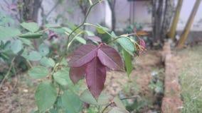 Розовые лист Стоковые Изображения