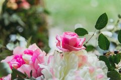 Розовые и белые розы Стоковое Изображение