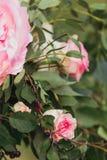 Розовые и белые розы Стоковые Фотографии RF