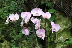 Розовые и белые цветки орхидеи Стоковое фото RF