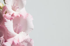 Розовые и белые гладиолусы на белой предпосылке Стоковые Изображения