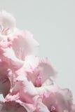 Розовые и белые гладиолусы на белой предпосылке стоковые изображения rf