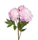 Розовые и белые изолированные цветки пиона стоковое изображение rf