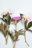 Розовые и белые цветки пиона изолированные на голубой предпосылке Стоковые Изображения RF