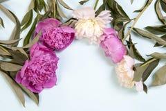 Розовые и белые цветки пиона изолированные на голубой предпосылке Стоковые Фото