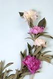 Розовые и белые цветки пиона изолированные на голубой предпосылке Стоковая Фотография