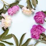 Розовые и белые цветки пиона изолированные на голубой предпосылке Стоковое Изображение