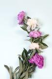 Розовые и белые цветки пиона изолированные на голубой предпосылке Стоковая Фотография RF