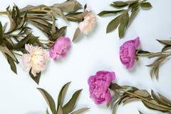 Розовые и белые цветки пиона изолированные на голубой предпосылке Стоковые Изображения