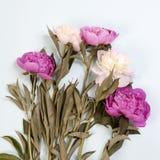 Розовые и белые цветки пиона изолированные на голубой предпосылке Стоковое Изображение RF