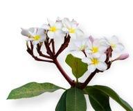 Розовые и белые цветки frangipani Стоковое Изображение RF