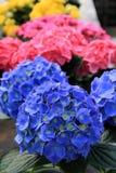 Розовые и голубые гортензии Стоковые Изображения RF