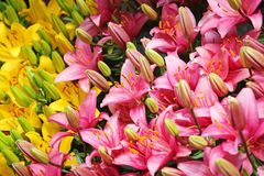 Розовые и желтые цветки лилии Стоковые Фото