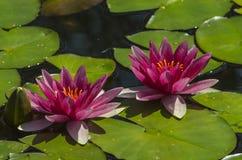 Розовые лилии воды Стоковые Изображения RF