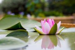 розовые лилия и лист воды в пруде Стоковые Изображения RF