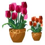 Розовые и красные тюльпаны в глиняном горшке, изолированные цветки иллюстрация вектора