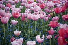 Розовые и красные тюльпаны в Giverny Стоковая Фотография