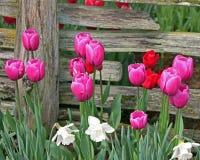 Розовые и красные тюльпаны перед выдержанной деревянной загородкой Стоковые Изображения