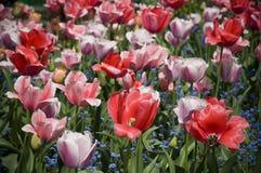 Розовые и красные цветеня в Giverny Стоковые Фотографии RF
