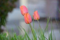 Розовые и оранжевые тюльпаны в саде Стоковое Изображение RF