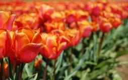 Розовые и померанцовые тюльпаны стоковое изображение