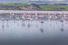 Розовые и серые фламинго на озере соли Ларнаки, Кипра Стоковая Фотография