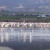 Розовые и серые фламинго на озере соли Ларнаки, Кипра Стоковые Изображения RF
