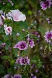 Розовые и фиолетовые розы утеса & x28; Rockroses& x29; Стоковое фото RF