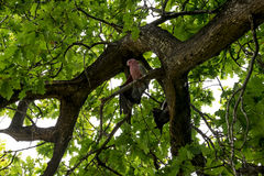 Розовые какаду сидя на дубе в национальном парке Yanchep Стоковое фото RF