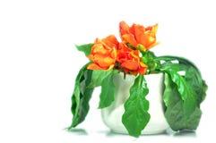 Розовые кактус или воск подняли стоковое фото rf