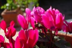 Розовые красивые цветки в баке Стоковая Фотография