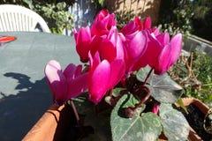 Розовые красивые цветки в баке Стоковое Изображение RF