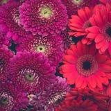 Розовые, красные и фиолетовые цветки gerber Стоковая Фотография