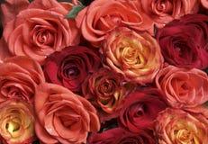 розовые красные розы Стоковые Фото