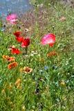 Розовые маки в поле цветка Стоковые Фотографии RF