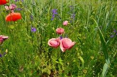 розовые маки Стоковая Фотография