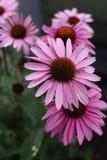 Розовые маргаритки на обочине Стоковые Изображения RF