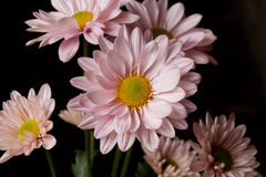 Розовые маргаритки Стоковая Фотография RF