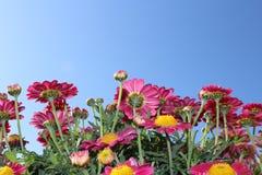 Розовые маргаритки Стоковые Фото
