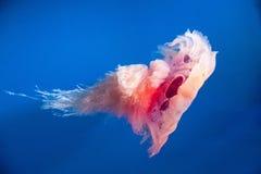 Розовые медузы заплывания стоковое изображение