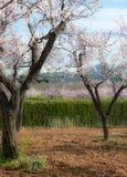Розовые миндальные деревья в сельской местности Стоковая Фотография