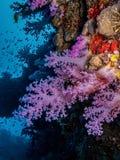 Розовые мягкие кораллы стоковые фото