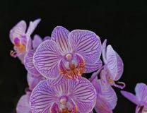 Розовые орхидеи на черной предпосылке стоковая фотография