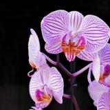 Розовые орхидеи на черной предпосылке стоковые фото