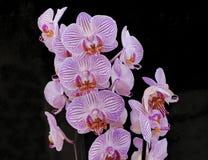 Розовые орхидеи на черной предпосылке стоковое фото rf
