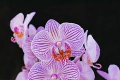 Розовые орхидеи на черной предпосылке стоковое фото